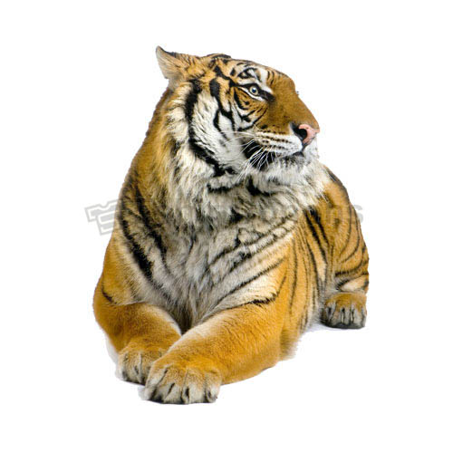 Tiger T-shirts Iron On Transfers N5613